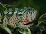 Male Ambanja panther chameleon