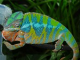 Male panther chameleon.